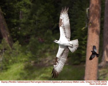 Osprey&RedWingedBlackbird46679