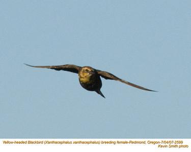 YellowHeadedBlackbirdF2599