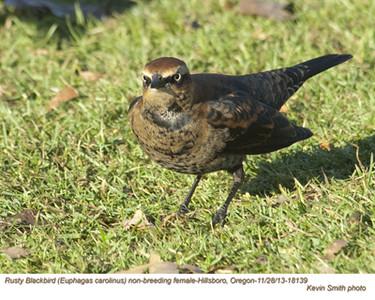 RustyBlackbirdF18139