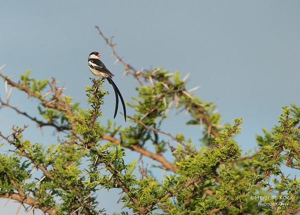 Pin-tailed Whydah, Ithala NP, KZN, SA Jan-2014-1