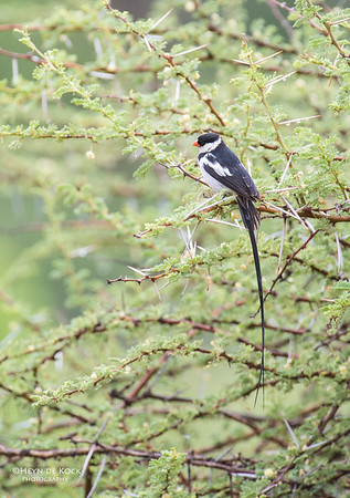 Pin-tailed Whydah, Pilansberg National Park, SA, Dec 2013-1