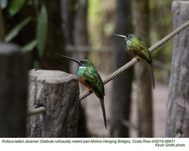 Rufous-tailed Jacamars P86671
