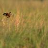 African Jacana, Eagle Island, Okavango Delta, Botswana, May 2017-10