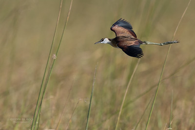African Jacana, Eagle Island, Okavango Delta, Botswana, May 2017-3