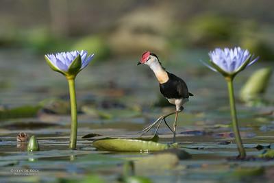 Comb-crested Jacana, Sandy Camp Rd Wetlands, Brisbane, QLD, Sept 2017-2