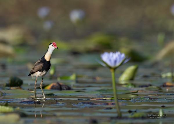Comb-crested Jacana, Sandy Camp Rd Wetlands, Brisbane, QLD, Sept 2017-1