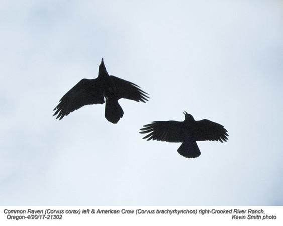 Common Raven & American Crow 21302