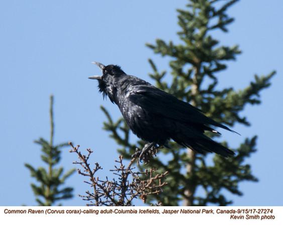 Common Raven A27274