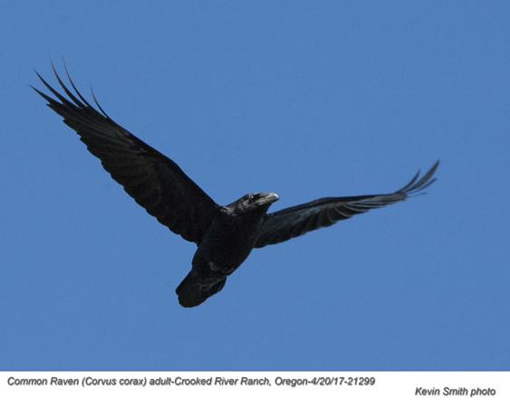 Common Raven A21299