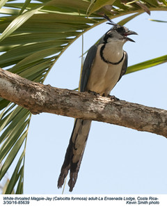 White-throated Magpie-Jay A85639