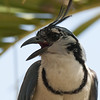 White-throated Magpie-Jay A85650