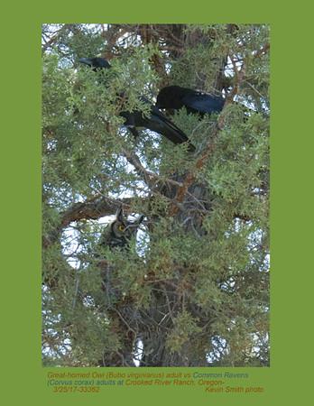 Common Ravens & Great Horned Owl 33362