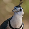 White-throated Magpie-Jay A85629