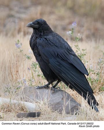 Common Raven A26832