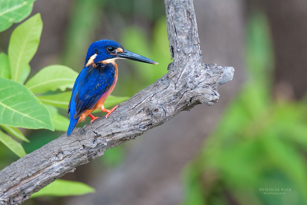 Azure Kingfisher, Kakadu NP, NT, Oct 2010