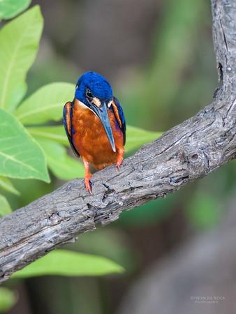 Azure Kingfisher, Kakadu NP, NT, Oct 2010-1