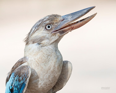 Blue-winged Kookaburra, Bowling Green NP, QLD, Jan 2020-3