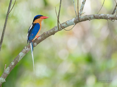 Buff-breasted Paradise Kingfisher, Julatten, QLD, Dec 2014-3
