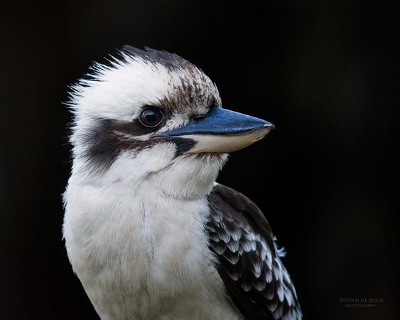 Laughing Kookaburra, Tallai, QLD, Dec 2015-2