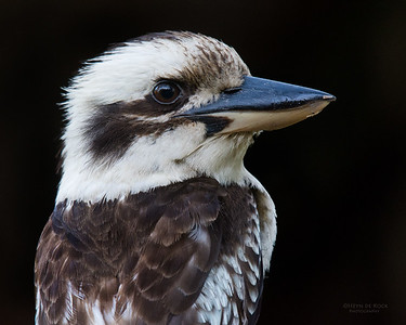Laughing Kookaburra, Tallai, QLD, Dec 2015