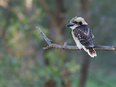 Laughing Kookaburra, juv, Tallai, QLD, Dec 2015