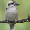Laughing Kookaburra, Tallai, QLD, March 2017