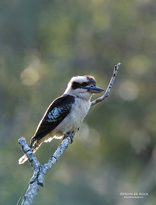 Laughing Kookaburra, Coombabah Lakelands, QLD, Aus, Nov 2011