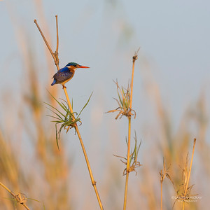 Malachite Kingfisher, Chobe River, NAM, Oct 2016-2