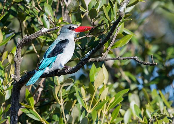 Mangrove Kingfisher, KZN, South Africa, May 2017-5