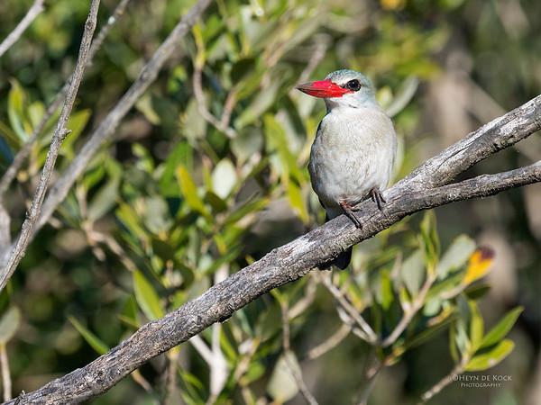 Mangrove Kingfisher, KZN, South Africa, May 2017-2