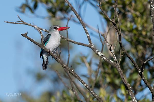 Mangrove Kingfisher, KZN, South Africa, May 2017-3