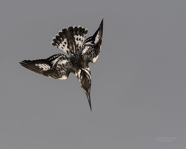 Pied Kingfisher, Chobe River, NAM, Oct 2016-3