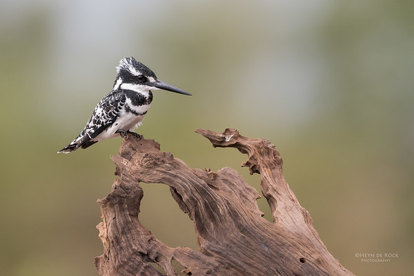 Pied Kingfisher, Zimanga, South Africa, May 2017-4