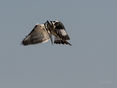 Pied Kingfisher, Chobe River, NAM, Oct 2016-4