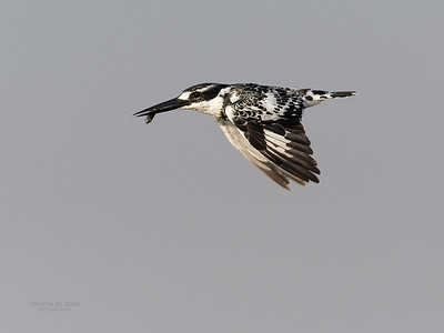 Pied Kingfisher, Chobe River, NAM, Oct 2016-1