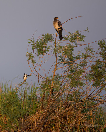 Reed Cormorant & Pied Kingfisher, Chobe River, NAM, Oct 2016-1