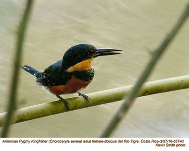American Pygmy Kingfisher F83740