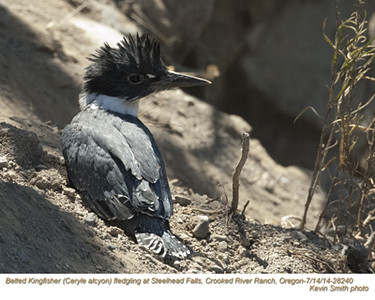 Belted Kingfisher J28240