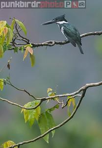 Amazon Kingfisher (Chloroceryle amazona)