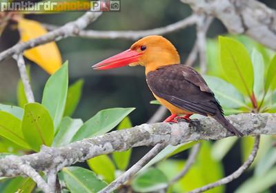 brown-winged kingfisher (pelargopsis amauroptera)