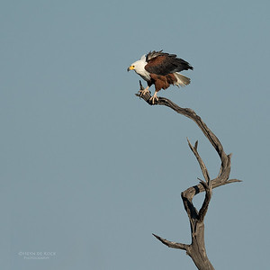 African Fish Eagle, Savuti, Chobe NP, Botswana, May 2017-1