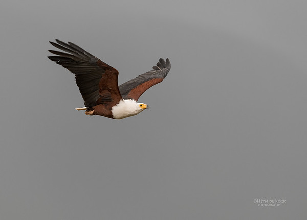 African Fish Eagle, Zimanga, South Africa, May 2017-3