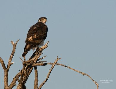 African Hawk Eagle, Etosha, Namibia, Jul 2011