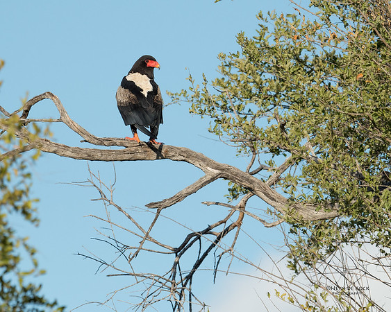 Bateleur, Khwai River Concession, Botswana, May 2017-1