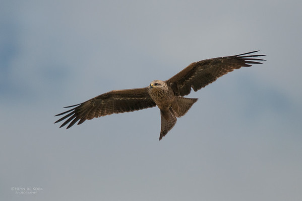 Black Kite, Coopers Corner, QLD, Jul 2010