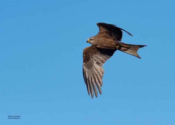 Black Kite, Deniliquin, NSW, Oct 2018-1