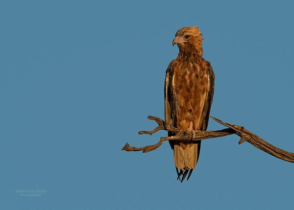 Black-breasted Buzzard, Bowra, Cunnamulla, QLD, Aus, Sept 2017-2