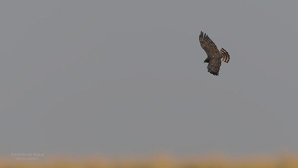 Black-chested Snake Eagle, Chobe River, NAM, Oct 2016-1