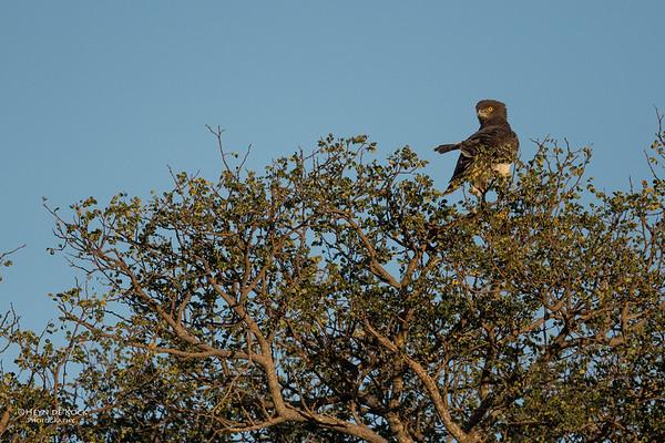 Black-chested Snake Eagle, Zimanga, South Africa, May 2017-1