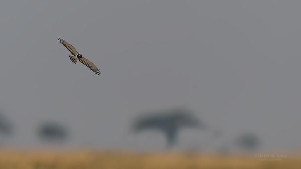 Black-chested Snake Eagle, Chobe River, NAM, Oct 2016-2